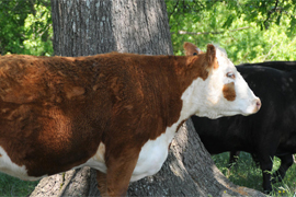 Research Reveals Value of Selecting Calm Cattle style=